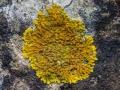 Trügerischer Schönfleck Caloplaca decipiens