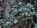 auf Kiefer, Hypogymnia tubulosa, Röhrige Blasenflechte