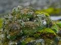 Kalk-Becherflechte Cladionia pyxidata subsp. pocillum,