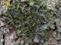 Essigflechte,Laubflechte, Parmelia acetabulum,