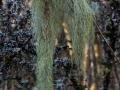Gewöhliche Bartflechte, Usnea dasypoga