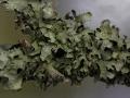Furchen- Schlüsselflechte, Parmelia sulcata