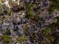 Bereifte Schildflechte, Peltigera rufescens