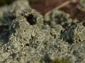 Vielgestaltige Kuchenflechte, Lecanora polytropa