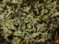 Blättrige Cladonie, Cladonia convoluta