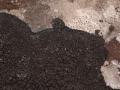 Schwarze Schuppenflechte, Placynthium nigrum
