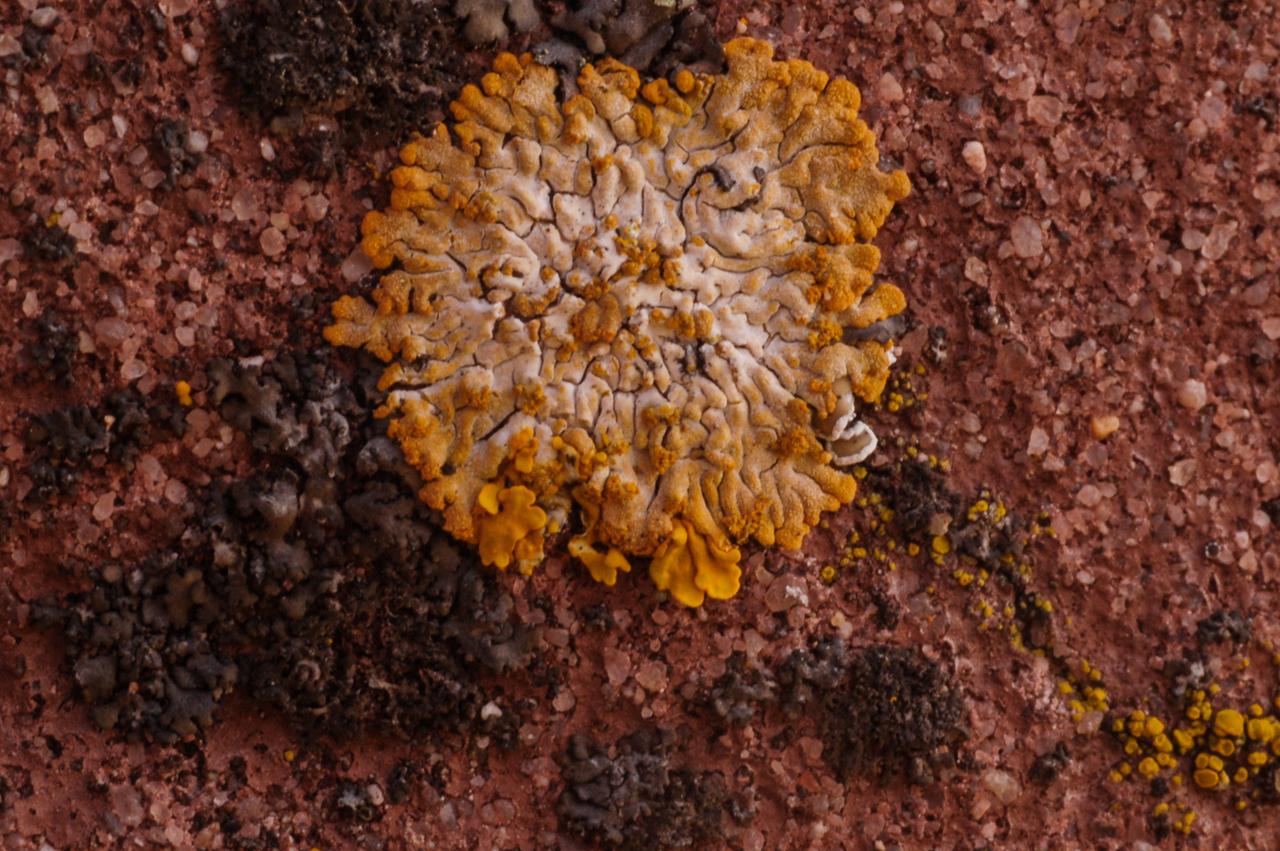 Trügerischer Schönfleck, Caloplaca decipiens