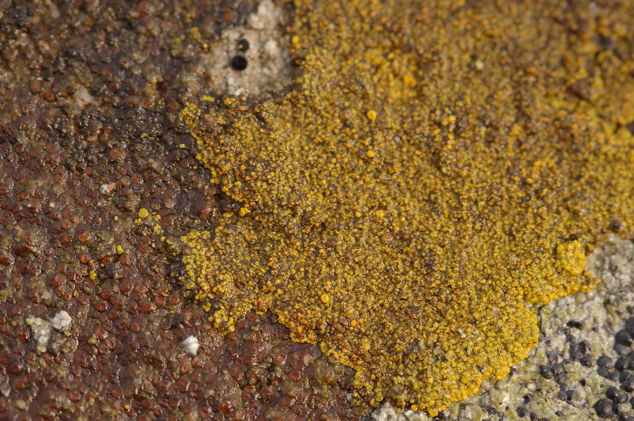 Krustenflechten, Caloplaca pyracea (rotbraun) u. Candelariella aurella (Gelb)