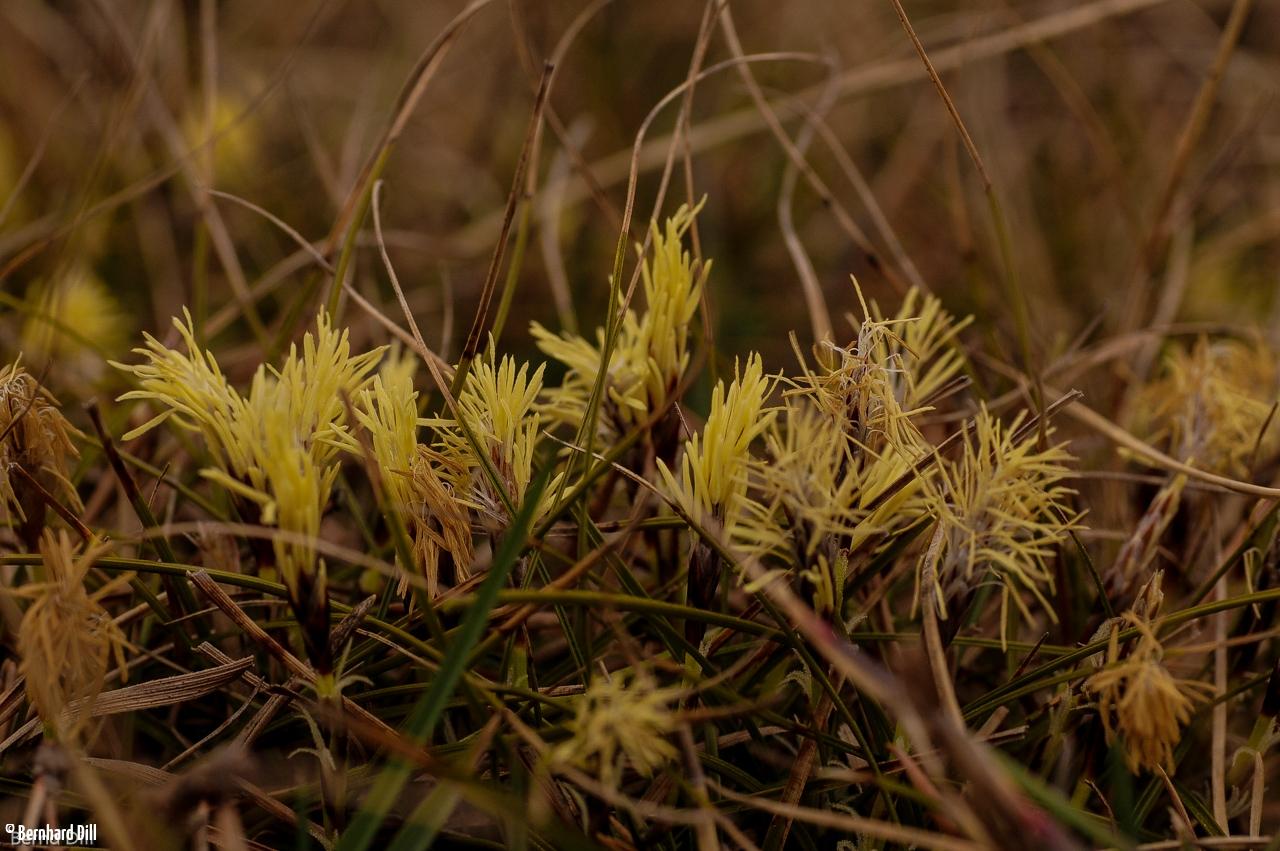 Erdsegge, Carex humilis