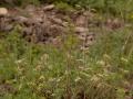 Blaugruner-Faserschirm Trinia-glauca