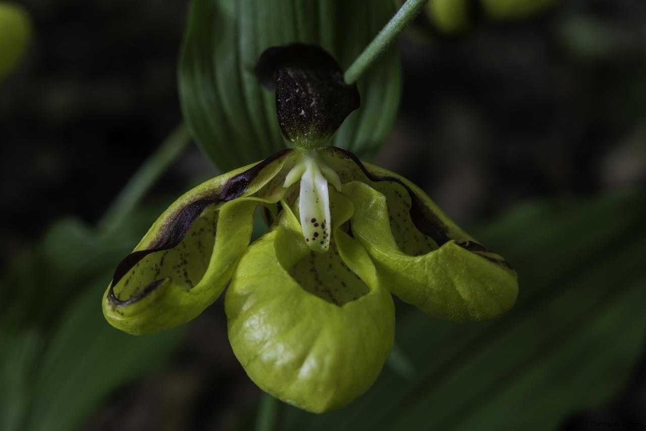 "Cypripedium calceolus, Drei- lippig mit labelloiden Petalen. ""Mercedesstern"""