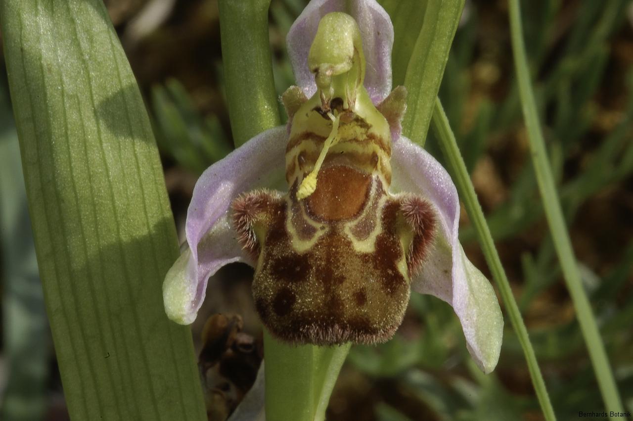 Ophrys apifera  Bienen - Ragwurz