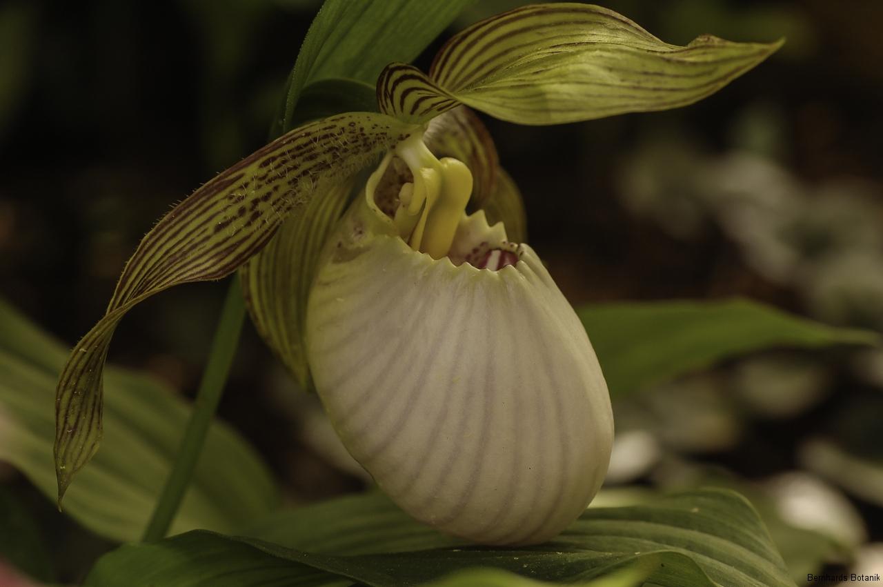 Cypripedium fasciolatum  China