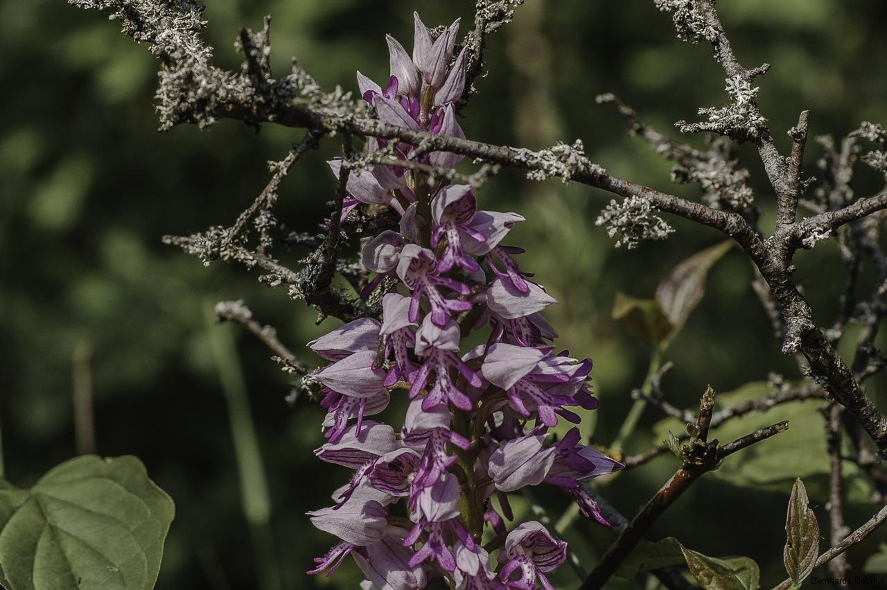 Orchis militaris  Helm - Knabenkraut