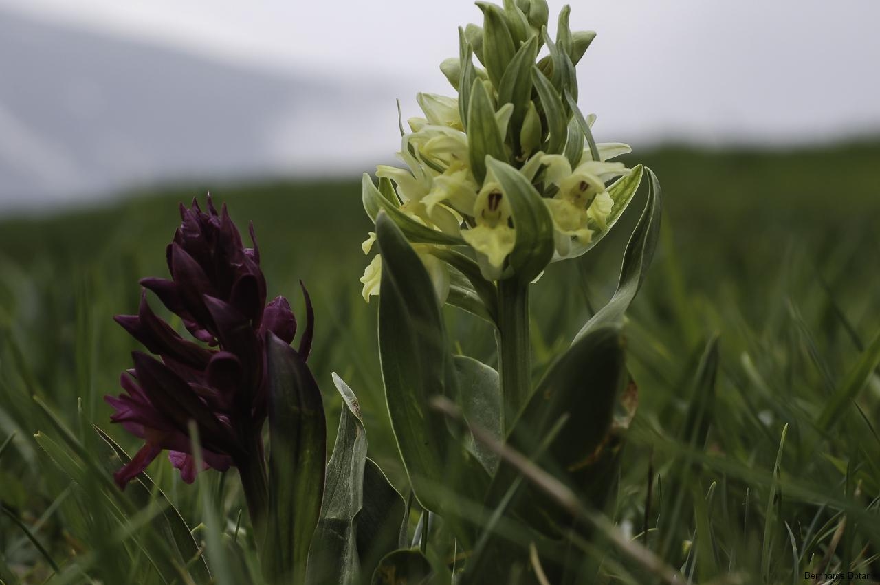 Dactylorhiza sambucina  Holunder - Fingerwurz  Gardasee