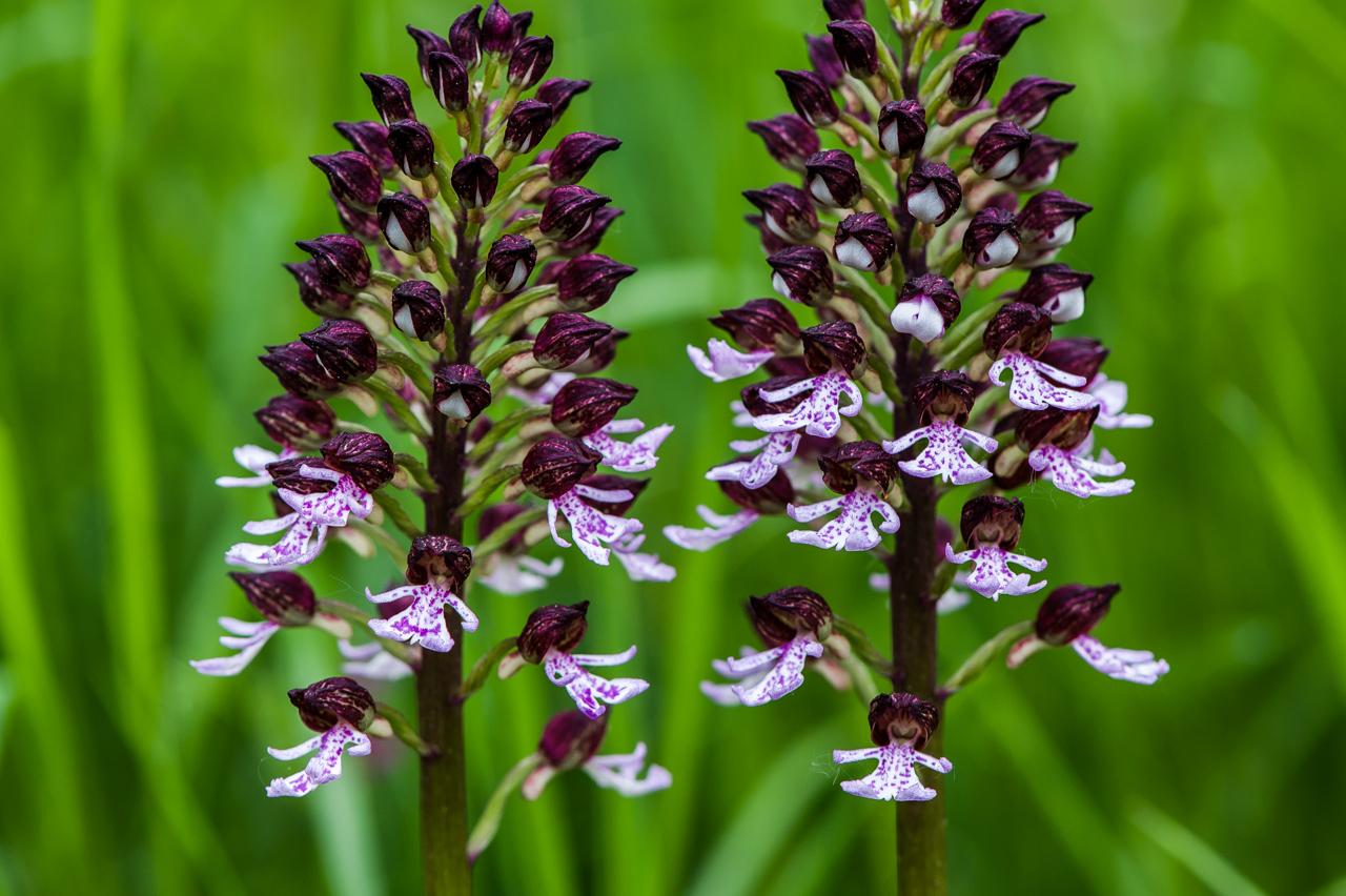 Orchis purpurea  Purpur - Knabenkraut