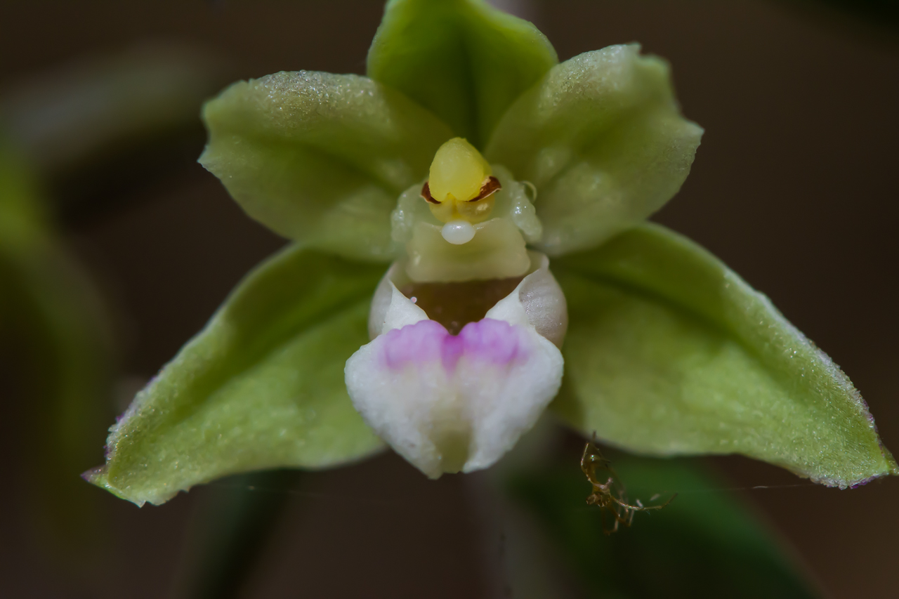 Epipactis viridiflora  Violette Stendelwurz,