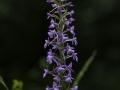 Gymnadenia conopsea, Mücken- Händelwurz,