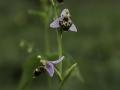 Ophrys scolopax, Schnepfen-Ragwurz