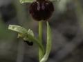 Ophrys sphegodes , Spinnen- Ragwurz