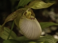 Cypripedium fasciolatum  China