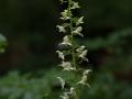 Platanthera chloranta  Grünliche Waldhyazinde