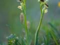 Ophrys  araneola  Kleine Spinnen - Ragwurz