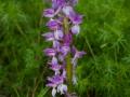 Orchis mascula  Stattliches - Knabenkraut
