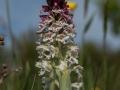 Orchis ustulata  Brandknabenkraut