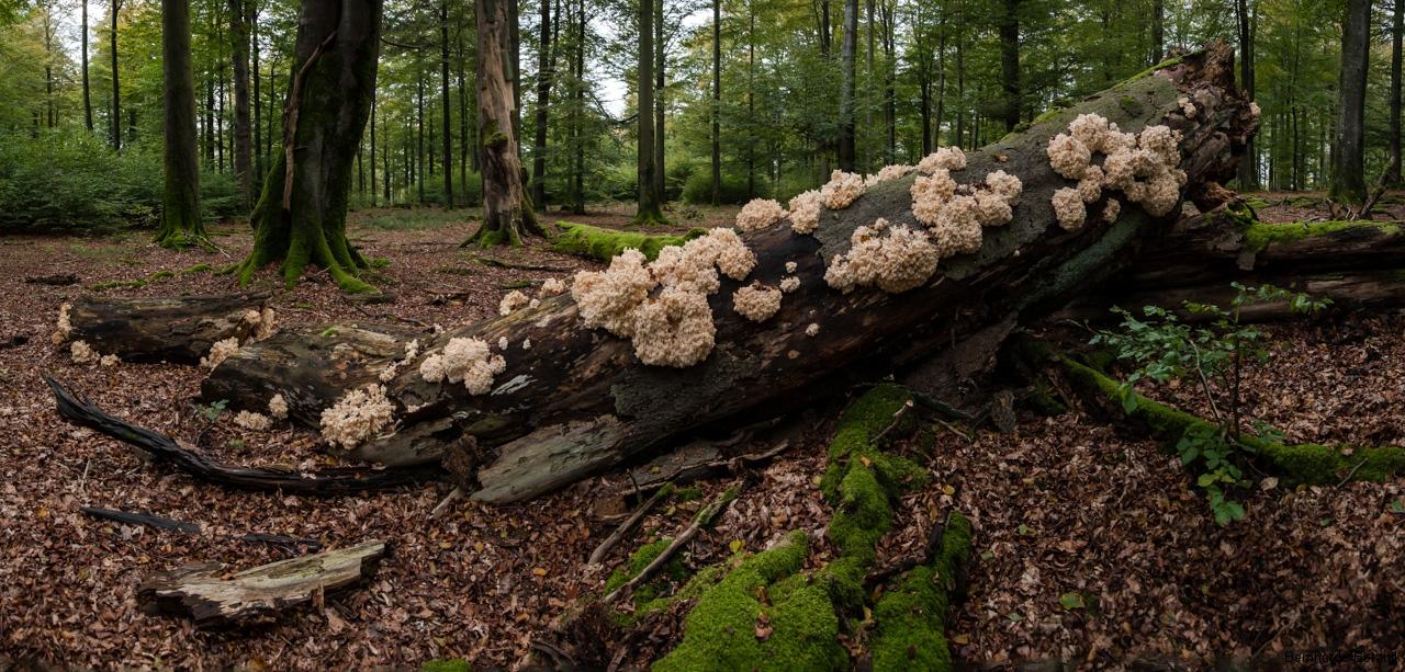 Ästiger Stachelbart, Hericium coralloides