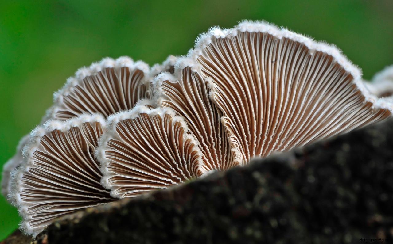 Spaltblättling, Schizophyllum commune, Rückseite
