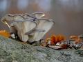 Austern- Seitling Pleurotus ostreatus