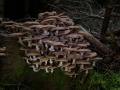Honiggelber Hallimasch, Armillaria mellea