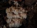 Igel- Stachelbart, Hericium erinaceus