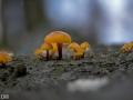 Samtfüßrübling Flammulina velutipes